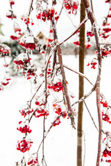 Red iced berries of wild ash covered with snow. Branches of rowan tree. Christmas , New Year, winter background.