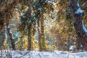 Pine forest in the winter. sunlight