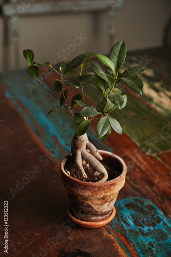 ginseng bonsai ficus tree in a clay pot on a vintage dark. Black Bedroom Furniture Sets. Home Design Ideas