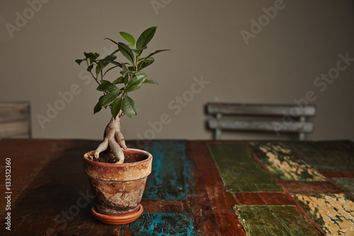 beautiful green ficus tree grown as a ginseng bonsai in a. Black Bedroom Furniture Sets. Home Design Ideas
