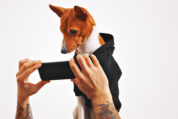 Serious brown and white basenji dog in black sweatshirt watches a movie on a smartphone held by man's hands on white background