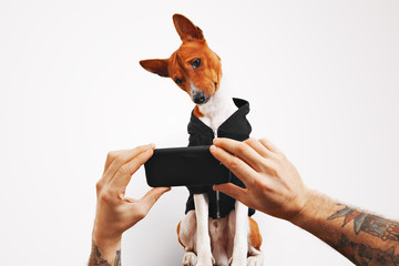 A man with tattooed arms shows a video on a smartphone to his curious beautiful red and white basenji dog , isolated on white background