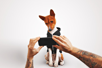 A man with tattooed arms shows a video on a smartphone to his brown and white basenji dog on white background