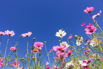 Cosmos flowers in the garden with blue sky and clouds background in  soft focus.