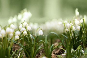 early spring snowflake flowers in forest