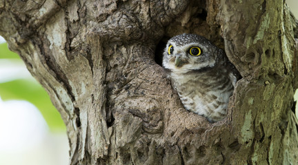 Owl, Spotted owlet (Athene brama) in tree hollow,Bird of Thailand