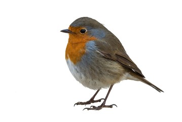 European robin isolated on white background Wall mural