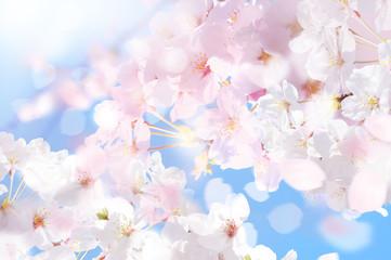 Papiers peints Fleur de cerisier 桜 ほわ 四