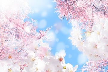 Foto op Canvas Kersenbloesem 桜 ほわ 三