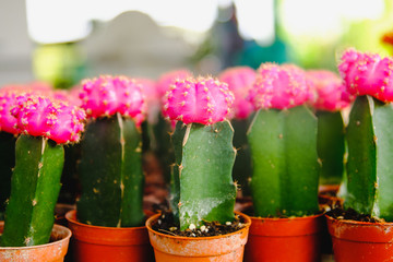 Pink Cactus Flowers in pots  at Cactus shop in flowers market . Bangkok, Thailand.