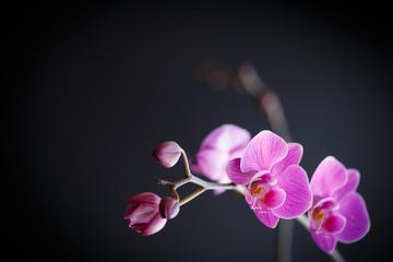 pink orchid phalaenopsis