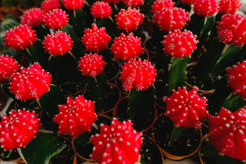 Red Cactus Flowers in pots at Cactus shop in flowers market . Bangkok, Thailand.