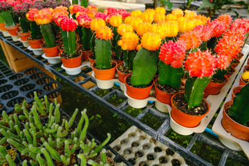 Yellow and Red Cactus Flowers in pots  at Cactus shop in flowers market . Bangkok, Thailand.