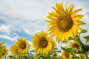 field of blooming sunflowers on a blue sky clouds background.  colorful sunflowers at bright summer day with copy space.
