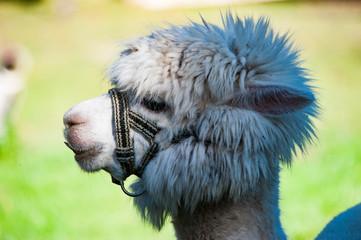Alpaka mit lustigem Haarschnitt