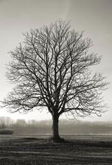 einzelner Kastanienbaum auf einer Wiese im Herbst
