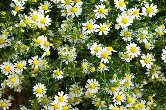 Fresh chamomile flower field garden greenery herb and plant back