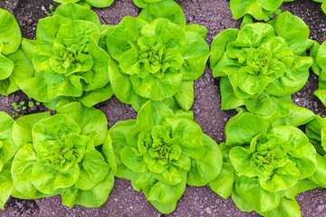 Rows of lettuce growing on an allotment garden