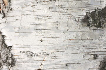birch bark texture natural background paper close-up Wall mural