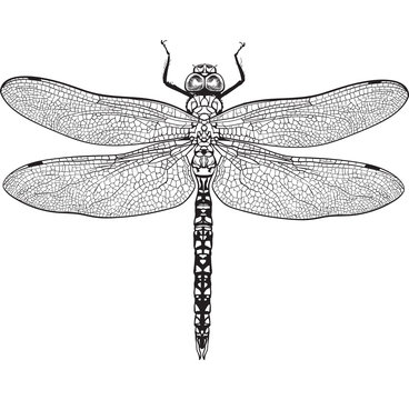 Top view of blue dragonfly with transparent wings, sketch illustration isolated on white background. black and white Realistic hand drawing of dragonfly insect on white background