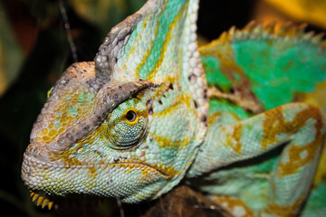 head green chameleon, background with tropical reptile