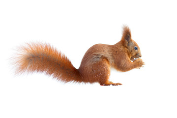 Photo sur Aluminium Squirrel Red squirrel with furry tail holding a nut isolated on white background