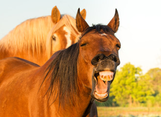Red bay horses yawning, looking like he is laughing, with another horse on the background