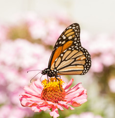 Monarch butterfly feeding on a pink Zinnia flower, with pink flowers fading out in the background