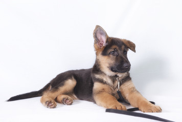 Image of a young German shepherd puppy laying down. Taken on a white background.