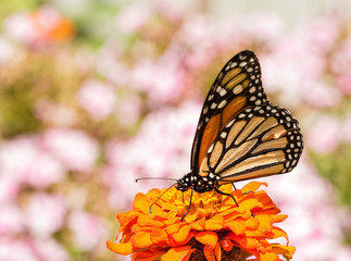 Danaus plexippus, Monarch butterfly, on an orange Zinnia flower, framed by pink Phlox blooms on the background