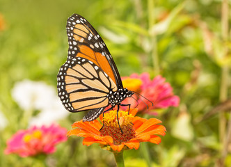 Ventral view of a Monarch butterfly feeding in a colorful, bright summer garden