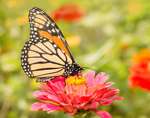 Closeup of a Monarch butterfly on a pink flower
