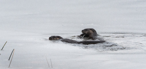 Three North American river otters (Lontra canadensis) swimming and fishing in the wild.  Last hunt before lake freezes for winter.