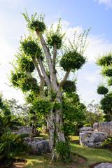 Ficus Microcarpa in the park / Bonsai trees