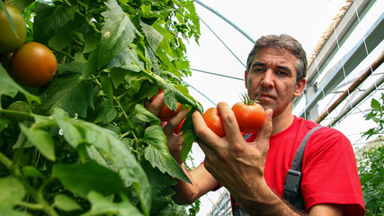 Tomato Grower in Polytunnel