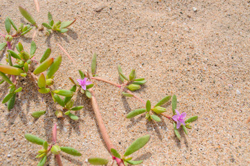 Beach succulents with pink flower