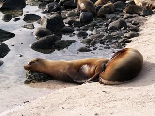 Sea Lions in repose on Darwin Beach, Genovesa Island in the Galapagos archipelago, Ecuador, South America