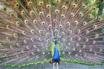 the tail of the beatiful peacock