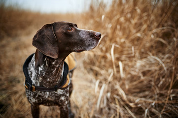 a beautiful hunting dog out in the field