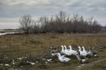 Rural scene in winter with cloudy sky and geese