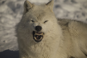 Arctic wolf growling