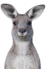 Papiers peints Kangaroo Young curious kangaroo with white background