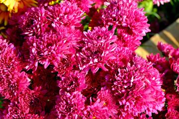 Chrysanthemum flowers background in nature.Dendranthemum grandif