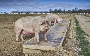 Pigs on a free range organic farm