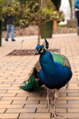 Blue and green male peacock Pavo muticus