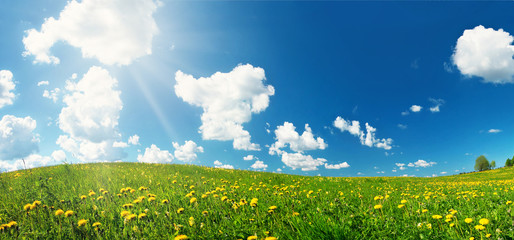 Wall Mural - Green field with yellow dandelions and blue sky. Flowers on grassland in beautiful sunny weather with fluffy clouds