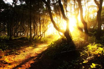 Sunbeams light a dirt path running through the coastal evergreen