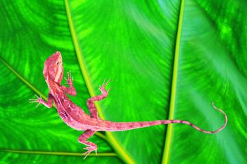 The pink lizard.