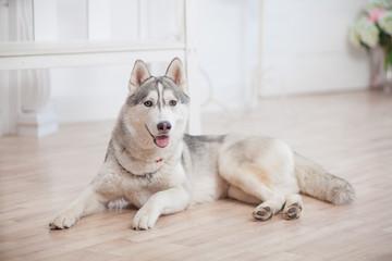 Beautiful huskies dog on floor in room
