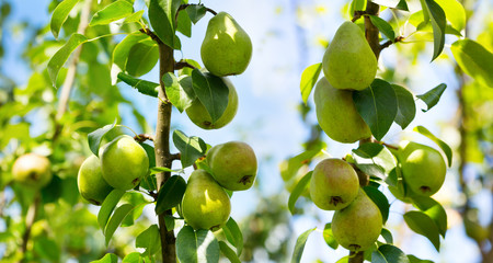 fresh ripe pears on a tree